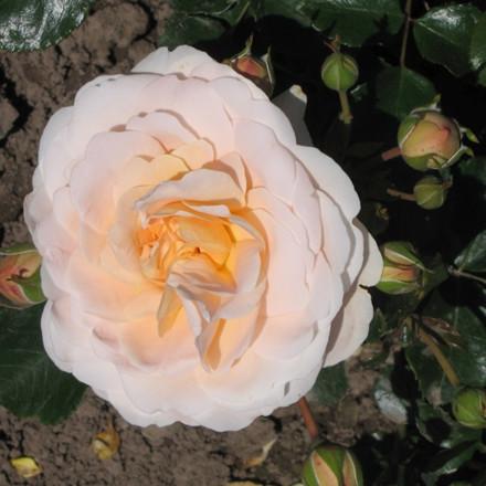 Rose 'Dronning Margrethe' (buketrose) barrodet