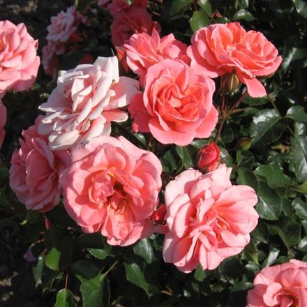 Rose 'Fredensborg' (buketrose) barrodet