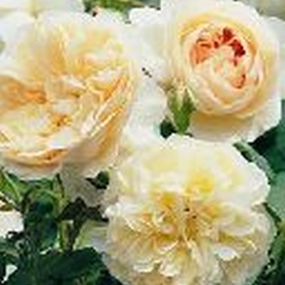 Rose Lichfield Angel (engelsk rose), barrotad