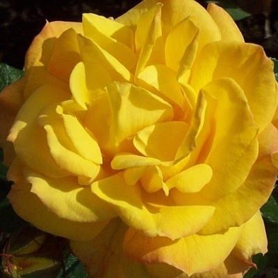 Rose Goldmarie 82 (buketrose)  , barrotad