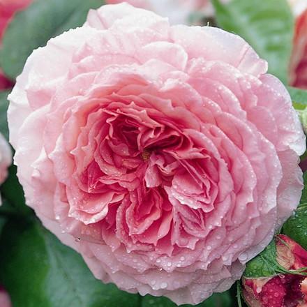 Rose James Galway (engelsk rose (kan anvendes som slyngrose), barrotad