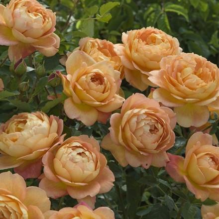 Rose Lady of Shalott (engelsk rose) , barrotad