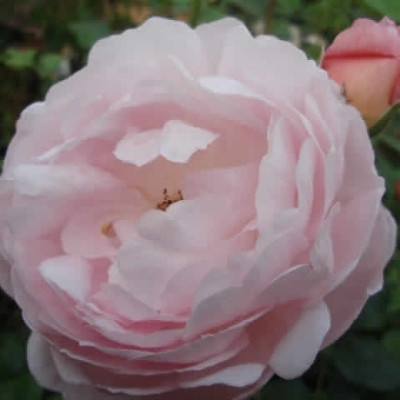 Rose Scepter`d Isle (engelsk rose) , barrotad
