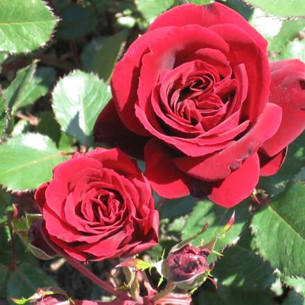 Rose Isabel Renaissance (renaissance rose), barrotad