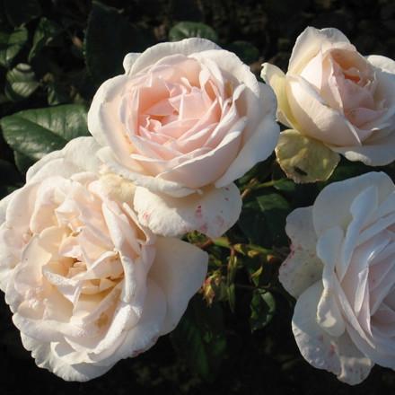 Rose Julia Renaissance (renaissance rose), barrotad