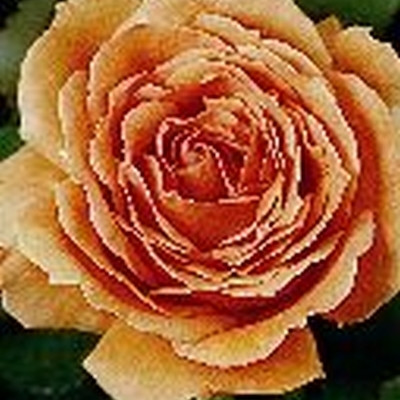 Rose 'Ashram' (storblomstrende) barrodet