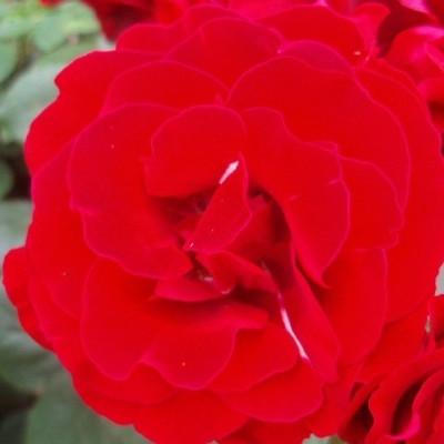 Rose H.C.Andersen (buketrose)  , barrotad