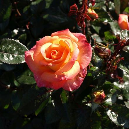 Rose 'Bellevue' (storblomstrende)  barrotad