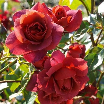 Rose Hot Chocolate (buketrose)  , barrotad