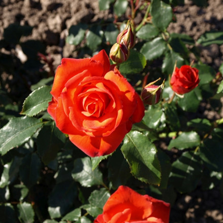 Rose Orange Sensation (buketrose)  , barrotad