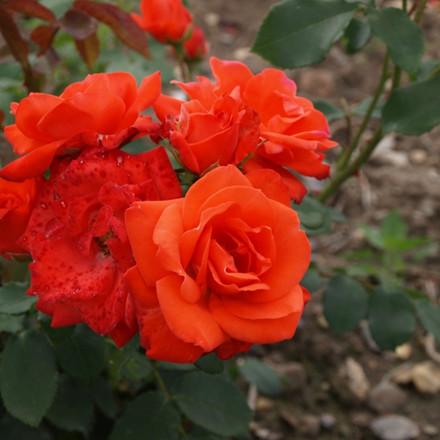 Rose Orange Sensation (buketrose)  , barrodet