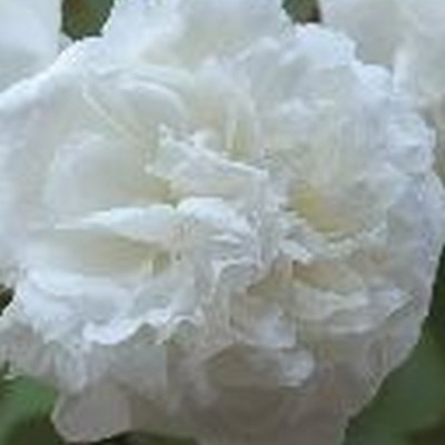 Rose Susan Williams-Ellis (engelsk rose)  , barrotad