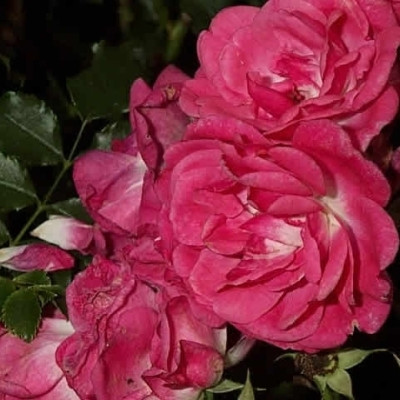 Rose Heidetraum (bunddækkerose) , barrotad