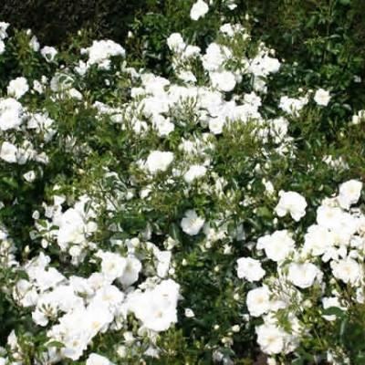 Rose Schneeflocke (bunddækkerose) , barrotad