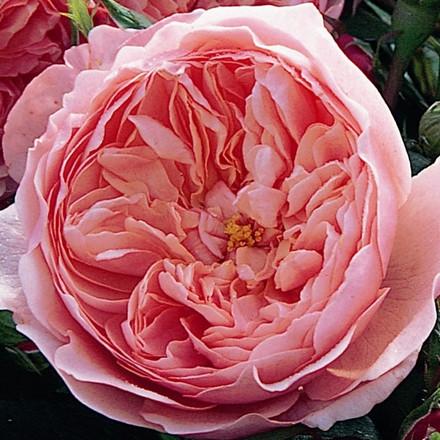 Rose The Alnwick Rose (engelsk rose) , barrotad
