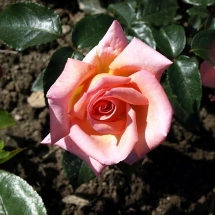 Rose Compassion (slyngrose) , barrotad