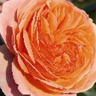 Rose 'Chippendale' (storblomstrende) barrodet