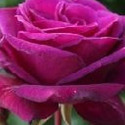 Rose 'Blackberry Nip' (storblomstrende) barrodet