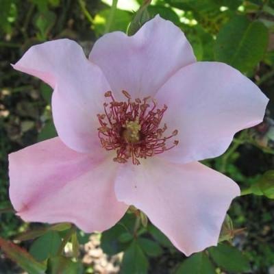 Rose 'Dainty Bess' (storblomstrende) barrotad