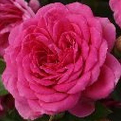 Rose Lea Renaissance (renaissance rose), barrodet