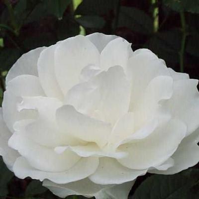 Rose Iceberg/Schneewittchen (buketrose)  , barrotad