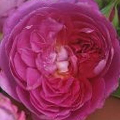 Rose Princess Anne (engelsk rose)  , barrotad