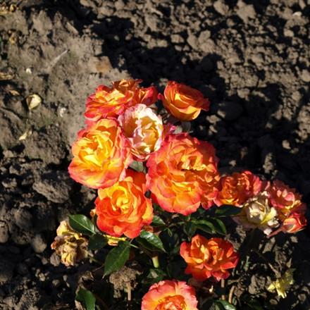 Rose Bonbon Hit (bunddækkerose), barrotad
