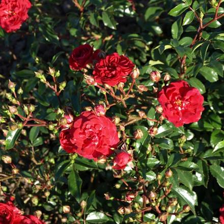 Rose 'Fairy Dance' (bunddækkerose) barrodet