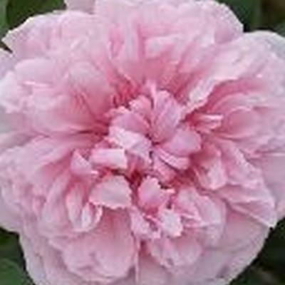 Rose Sister Elizabeth (engelsk rose), barrotad