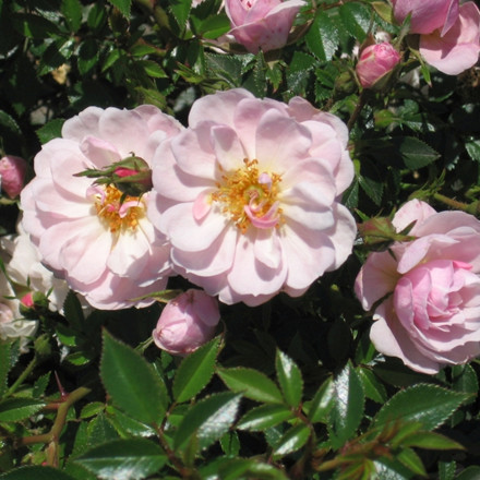 Rose Gentle Cover (bunddækkerose) , barrotad