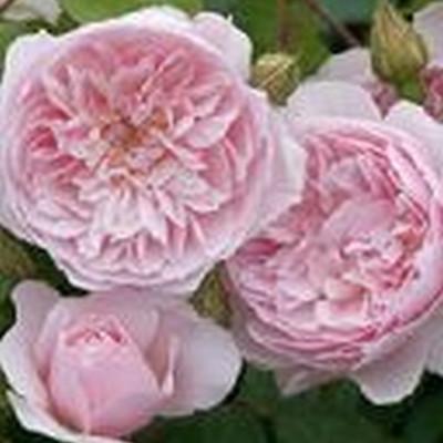 Rose Wisley 2008 (engelsk rose) , barrotad