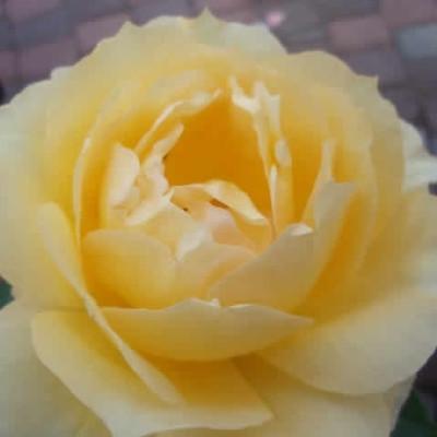 Rose Sophia Renaissance (renaissance rose) , barrotad