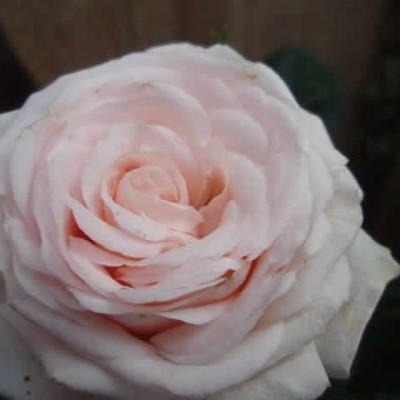 Rose 'Amie Renaissance' (renaissance rose) barrotad
