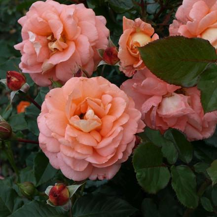 Rose 'Bonita Renaissance' (renaissance rose) barrotad
