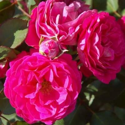 Rose Maria Renaissance (renaissance rose) , barrotad
