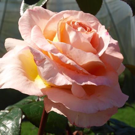 Rose 'Bitten Clausen' (storblomstrende) barrotad