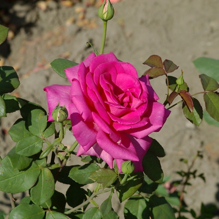 Rose Duftrausch (storblomstrende)  , barrotad