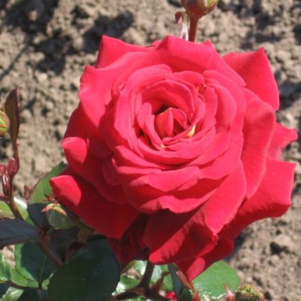 Rose Kleopatra (storblomstrende)  , barrotad