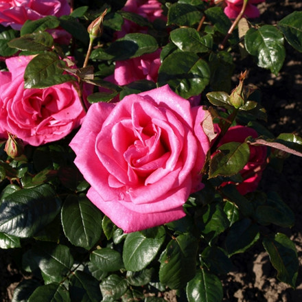 Rose Lady Like (storblomstrende)  , barrotad