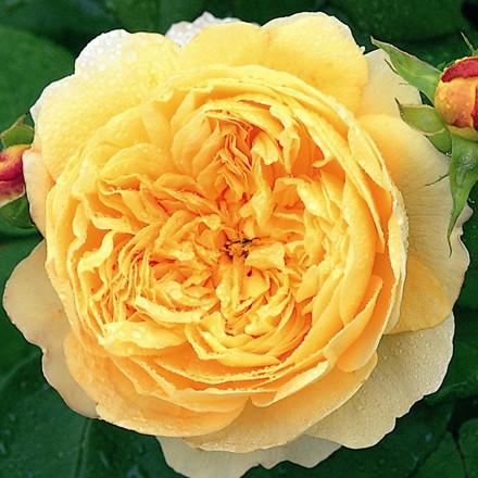 Rose Charles Darwin (engelsk rose) , barrotad
