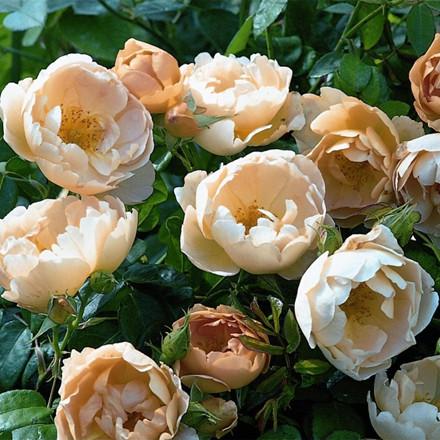 Rose Coniston (engelsk rose) , barrotad