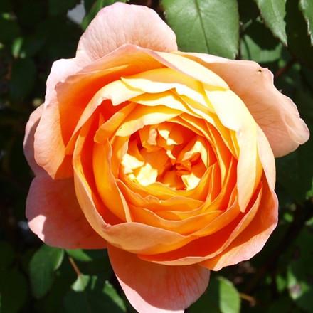 Rose Lady Emma Hamilton (engelsk rose) , barrotad