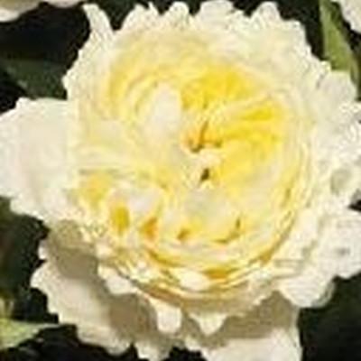 Rose Nina Renaissance (renaissance rose), barrotad