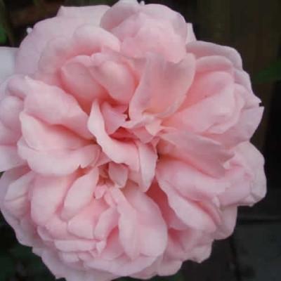 Rose Sissel Renaissance (renaissance rose) , barrotad