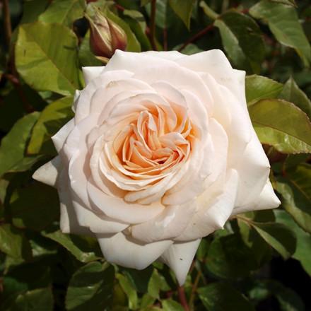 Rose Marvellous (storblomstrende)  , barrotad