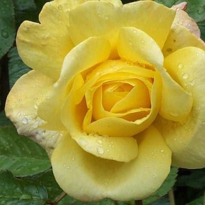 Rose 'Chinatown' (slyngrose) barrotad