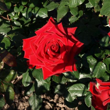 Rose 'Duftwolke' (storblomstrende) barrotad