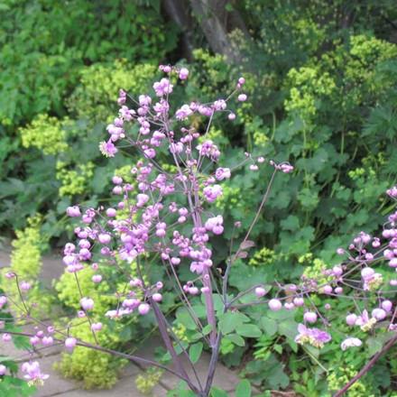 THALICTRUM rochebrunianum - Frøstjerne