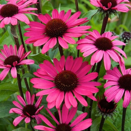 ECHINACEA purpurea 'Summer Cloud'® (Rudbeckia) - Solhat
