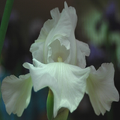 IRIS germanica 'Tufted Cloud' - Iris